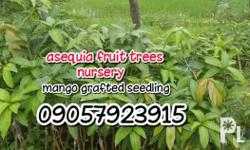 ASEQUIA FRUIT TREES NURESERY its fully grown and ready