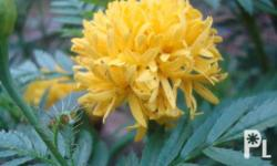 Yellow marigold.Not only does the scent of the marigold