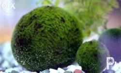 Marimo is very rare and the only round aquatic species