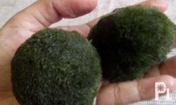 Marimo moss ball 6-7cm Shipping metro manila 50 For