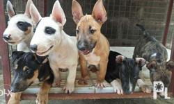 Male mini bull terrier Show potential White with eye