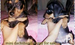 Mini dachshund puppies for sale Ready for release Date