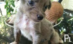 These Dapple Dachshund Puppies will be released by end