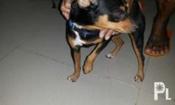 Minipincher -1male 2years old with medical record no