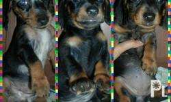Pure breed MINITURE DAPPLE DACHSHUND birth:May 06,2014
