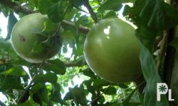 what is the calabash tree? But most Filipinos call it