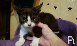 Munchkin Cat Male Napoleon Cat with Short Legs (Dwarf