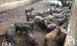 Native pig ages from 3months to 6months for sale! From