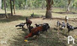 NATIVE CHICKEN FOR SALE (JOLOHANO breed) Grown