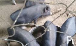 native pig 4 sale 1500 male or female,or inahin 4500