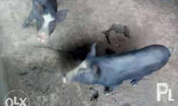 Native pig for sale (castrated male) for small lechon