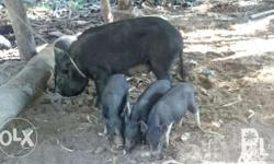 Native Pigs and Piglets Pigs 3000 up Piglets 1500 up
