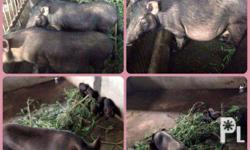 NATIVE PIG FOR SALE!!! �� 3 Female (6,000each) - 1