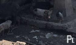 for sale native piglets 1 to 2 months old