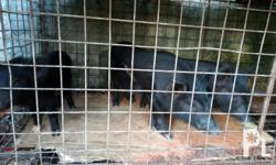 Natives Pigs 3 to 4 months old 3000 slight Neg. With