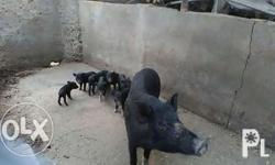 Native pigs and piglets pls call Interested in this ad?