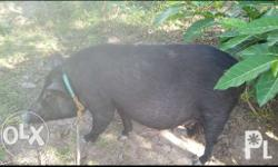 3 heads 2-3 months pregnant native pigs 3rd parity