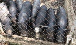 Naturally grown native pigs for sale. Best for growing,