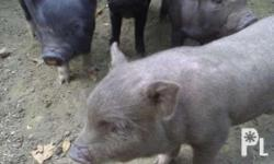 Native piglets (2months old) - 2,000 Native pigs