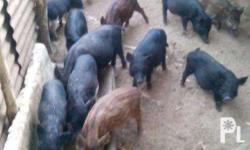 for sale native pigs. 3 to 4 months old. meet up or