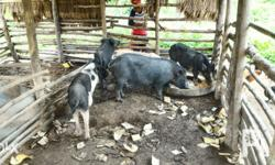 Naturally Fed Native Pigs For Sale 9pcs Pregnant Sows