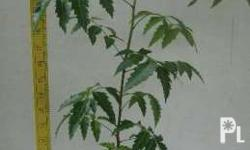 Neem is a medicinal plant originated from India, leaves