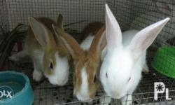Two months old New Zealand rabbit for sale, for sure