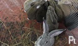 Local New Zealand Upgrade Rabbits Message me on