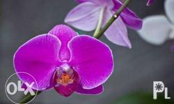 Phalaenopsis Orchid. Color: Violet or Dark Violet or