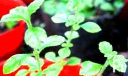 Oregano is a perennial plant with small white flowers