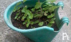 Organic Mint plant in small green hanging pot
