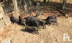 Organic native piglets for sale starting at 1,299.00