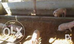 We are grower, breeder and supplier of Native Pigs