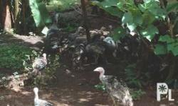 Pabo (Turkey) For Sale - Live or for Breeding