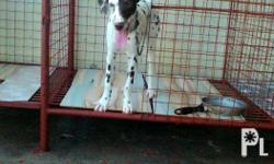 Pair of Pure Breed Dalmatian For Sale or Swap To Any