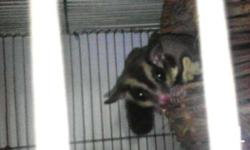 pair sugar glider 10 mos. old forsale or fortrade sa