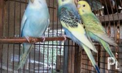 Parakeets birds Perfect pets at home or a perfect gift