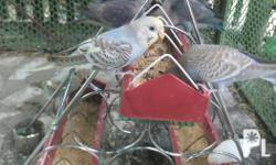 Parakeet pair for sale Pampanga area only Meet up or