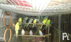 Young Parakeets for sale different color to choose txt
