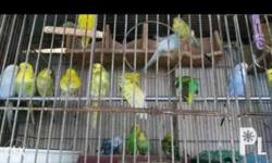 Healthy good breed parakeets