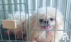 Male Pekingese Pure Breed No papers With healthcard
