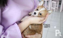 Yellow and white Corgi from Korea 3 months old and