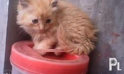 persian cat.2 1/2 months old..color orange male and