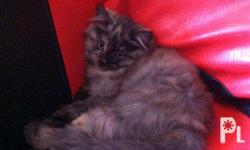 Persian Kitties for sale! Both female yung available,