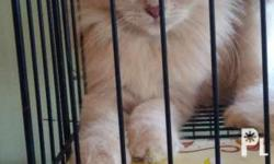 Female Persian cat 5month old Diet:Princess/whiskass