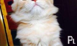 Very sweet, lovable and very cute persian cat for sale
