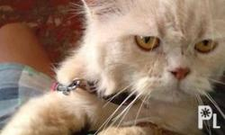 for sale adult persian cat. male pure breed see