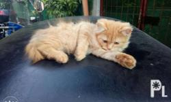 2 1/2 months old persian cat orqnge color Both MALE