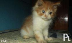 for sale! persian cat all females P5,000 DOB: July 5,