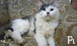 1year old female persian. In heat. Good for breeder.